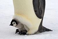 Emperor Penguin (Aptenodytes forsteri) chick on the feet of
