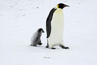 Emperor Penguin (Aptenodytes forsteri) walking with chick�CA