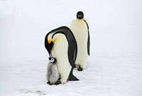 Emperor Penguin (Aptenodytes forsteri) pair with chick,Anta