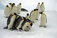 Emperor Penguin (Aptenodytes forsteri) group fighting over c