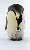 Emperor Penguin (Aptenodytes forsteri) parent feeding chick