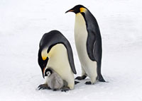 Emperor Penguin (Aptenodytes forsteri) adults with chick,An