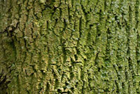 European Ash (Fraxinus excelsior) bark,Netherlands