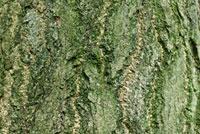 Ginkgo (Ginkgo biloba) bark,Netherlands 01543029120| 写真素材・ストックフォト・画像・イラスト素材|アマナイメージズ
