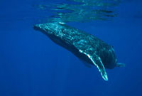 Humpback Whale (Megaptera novaeangliae) at the water's surf