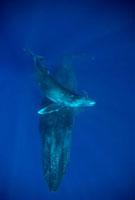 Humpback Whale (Megaptera novaeangliae) and calf,Maui,Hawa