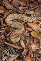 Borneo Short-tailed Python (Python breitensteini) camouflage