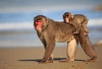 Japanese Macaque (Macaca fuscata) mother and young,Kojima,