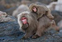 Japanese Macaque (Macaca fuscata) female eating salt,Yakush