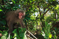 Japanese Macaque (Macaca fuscata) in the costal laurel fores