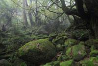 Temperate rainforest of Shiratani Unsuikyo,Yakushima Island