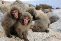 Japanese Macaque (Macaca fuscata) yearlings on coastal rocks