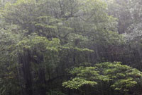 Rain in temperate rainforest of Shiratani Unsuikyo,Yakushim