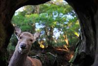 Sika Deer (Cervus nippon) viewed from inside hollow stump,Y