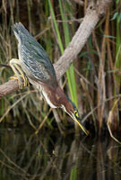 Green Heron (Butorides virescens) fishing for minnows,Everg