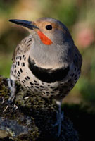 Northern Flicker (Colaptes auratus) male,western Montana
