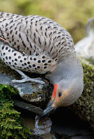 Northern Flicker (Colaptes auratus) male drinking from sprin