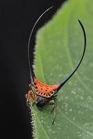オオナガトゲトゲグモ