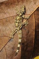 Horsfield's Flying Gecko (Ptychozoon horsfieldii),Danum Va 01543030158| 写真素材・ストックフォト・画像・イラスト素材|アマナイメージズ