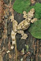 Horsfield's Flying Gecko (Ptychozoon horsfieldii),Danum Va 01543030162| 写真素材・ストックフォト・画像・イラスト素材|アマナイメージズ