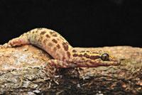 Balu Bow-fingered Gecko (Cyrtodactylus baluensis),Mount Kin 01543030190| 写真素材・ストックフォト・画像・イラスト素材|アマナイメージズ