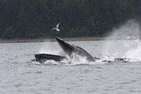 Humpback Whale (Megaptera novaeangliae) gulp feeding,Alaska