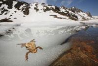 European Toad (Bufo bufo) pair in amplexus in breeding pool