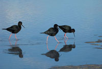Black Stilt (Himantopus novaezelandiae) trio wading and fora