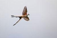 Scissor-tailed Flycatcher (Tyrannus forficatus) flying,sout