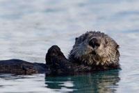 Sea Otter (Enhydra lutris),Prince William Sound,Alaska 01543030819| 写真素材・ストックフォト・画像・イラスト素材|アマナイメージズ
