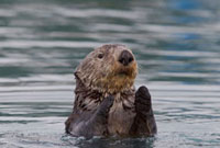Sea Otter (Enhydra lutris) emerging from water,Prince Willi 01543030822| 写真素材・ストックフォト・画像・イラスト素材|アマナイメージズ