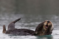 Sea Otter (Enhydra lutris) grooming,Prince William Sound,A