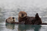 Sea Otter (Enhydra lutris) mother with pup on belly,Prince