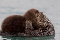 Sea Otter (Enhydra lutris) mother grooming pup,Prince Willi 01543030826| 写真素材・ストックフォト・画像・イラスト素材|アマナイメージズ