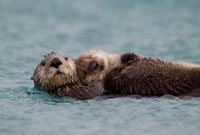 Sea Otter (Enhydra lutris) mother carrying sleeping pup,Pri