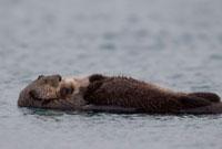 Sea Otter (Enhydra lutris) mother carrying sleeping pup,Pri 01543030841| 写真素材・ストックフォト・画像・イラスト素材|アマナイメージズ