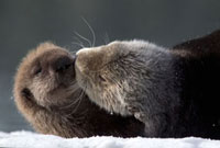 Sea Otter (Enhydra lutris) mother with pup on snow,Prince W