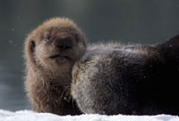 Sea Otter (Enhydra lutris) mother with pup on snow�CPrince W