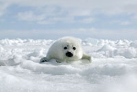 Harp Seal (Phoca groenlandicus) pup on ice,Magdalen Island