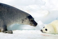 Harp Seal (Phoca groenlandicus) with pup,Magdalen Islands,