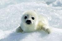 Harp Seal (Phoca groenlandicus) pup�CMagdalen Islands�CGulf