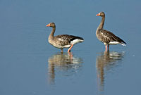 Greylag Goose (Anser anser) male and female wading,Oostvaa