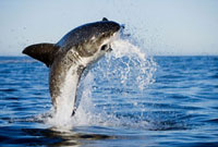 Great White Shark (Carcharodon carcharias) leaping out of