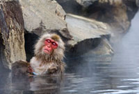 Japanese Macaque (Macaca fuscata) nursing young in hot spr