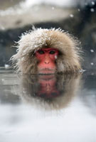 Japanese Macaque (Macaca fuscata)soaking in hot spring,Jig