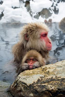 Japanese Macaque (Macaca fuscata) soaking with baby in hot