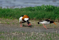 Common Shelduck (Tadorna tadorna) chasing away Eurasian Oy