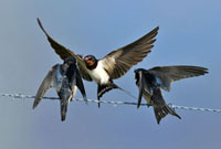 Barn Swallow (Hirundo rustica) feeding chick,Zeeland,Nethe