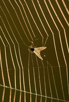 Fly caught in a spiderweb covered with dewdrops,Biebzra,Po