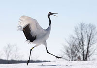 Red-crowned Crane (Grus japonensis) landing,Hokkaido,Japan